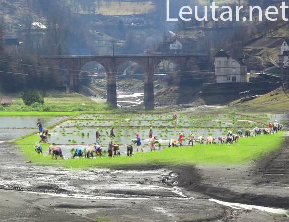 Leutar.net Kinezi sade rižu na Jablaničkom jezeru