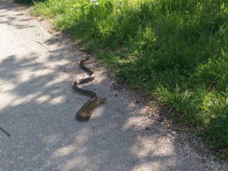 Leutar.net Šta raditi ako naletite na zmiju: Seruma skoro da nema!