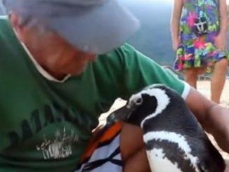 Leutar.net Pingvin svake godine prepliva 8.000 kilometara da posjeti svog spasioca