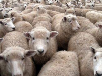 Leutar.net Ovce