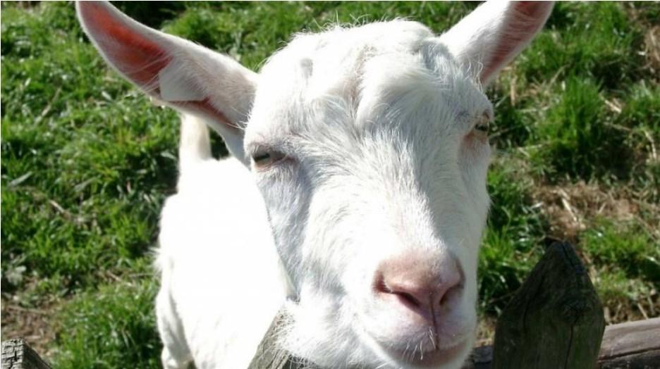 Leutar.net Kozje mlijeko – zaboravljeno blago hercegovačkih pašnjaka