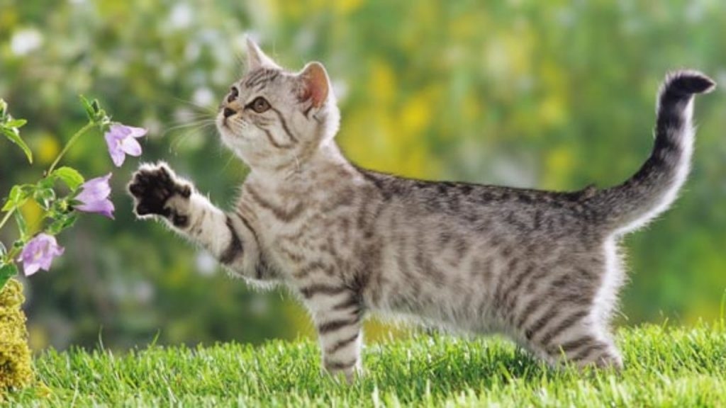 Leutar.net Zašto bi oni koji ne vole mačke trebalo da se zabrinu?