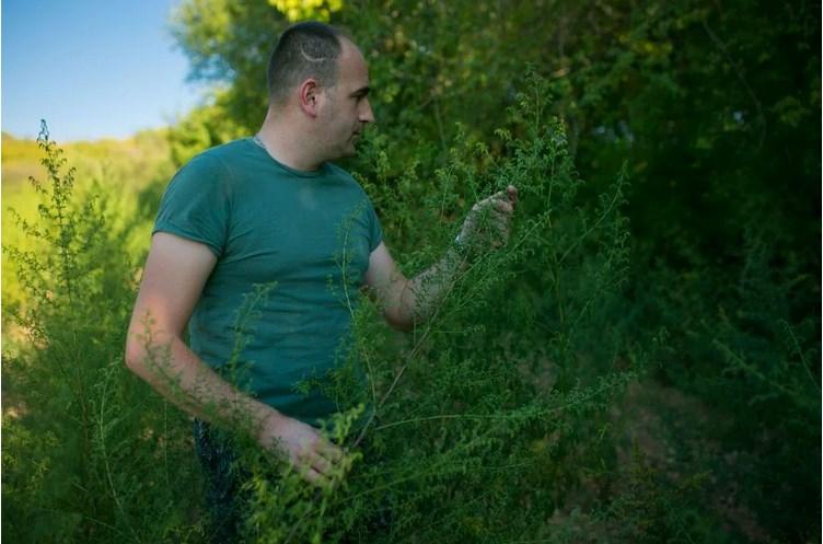Leutar.net Petar Mihić iz Ljubinja već 8 godina uzgaja slatki pelin – Čudotvorna biljka efikasna i u liječenju korona virusa