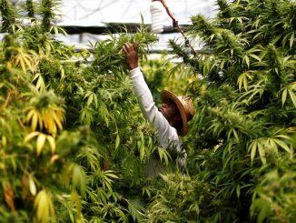 Leutar.net Naučnici tvrde: Marihuana sprečava širenje virusa korona u plućima