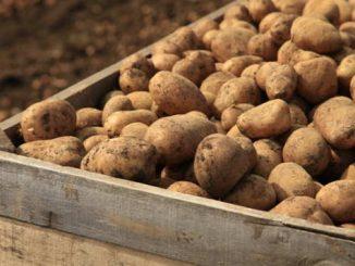 Leutar.net Prije 200 godina Srbi i crkva su se žestoko borili protiv krompira i nazivali ga đavoljom biljkom, batinama ih Karađorđe natjerao da ga prihvate