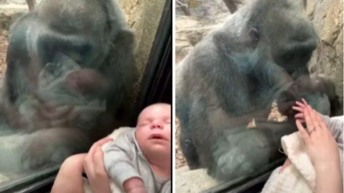 Leutar.net Majka došla u zoološki vrt s bebom, gorila dovela svoje mladunče da ga pokaže